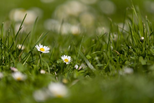 depositphotos_107013378-stock-photo-small-daisy-flower